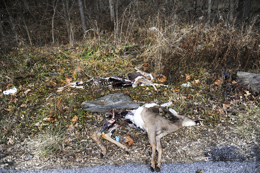 Poached deer carcasses lay on the side of the road Thursday, Dec. 5, 2013, out on an Augusta County road. Both employees said many of the deer they pick up are carcasses dumped from poachers hunting out of season, and can tell because of which parts are left.