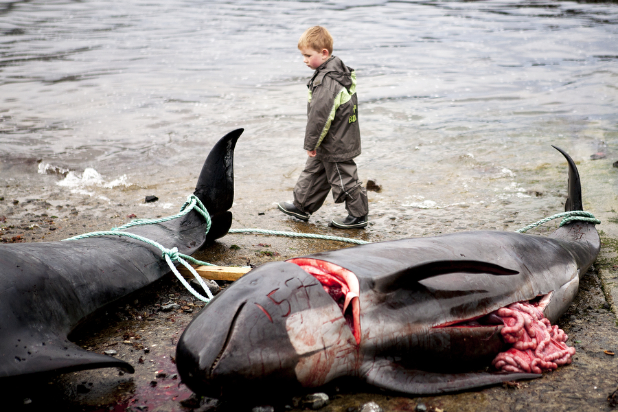 A child surveys whale carcasses laying on the beach in the Faroe Islands. Photo © Katie Currid
