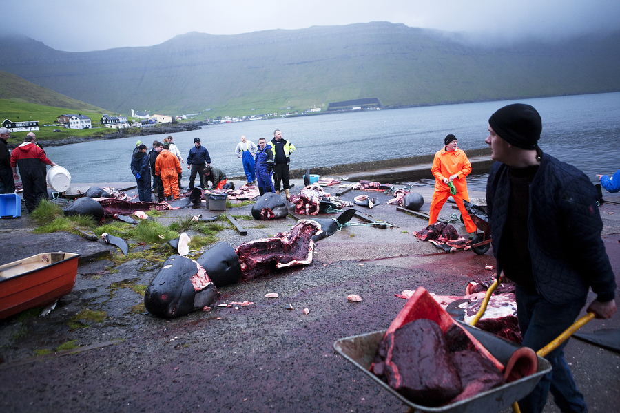 A man carries a wheelbarrow full of meat across the beach after a whale hunt in the Faroe Islands. Photo © Katie Currid