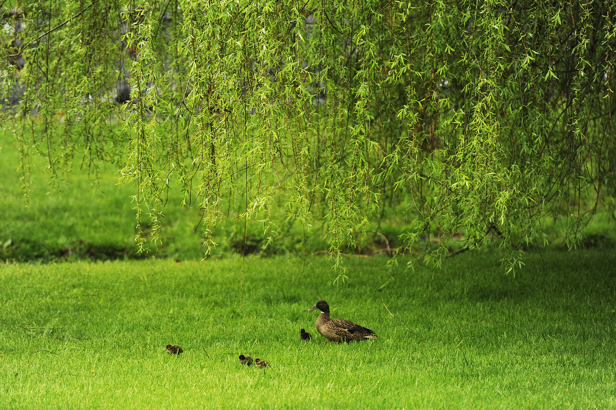 A mother duck walks with her four ducklings in the rain on Tuesday, April 29, 2014, at Gypsy Hill Park in Staunton.
