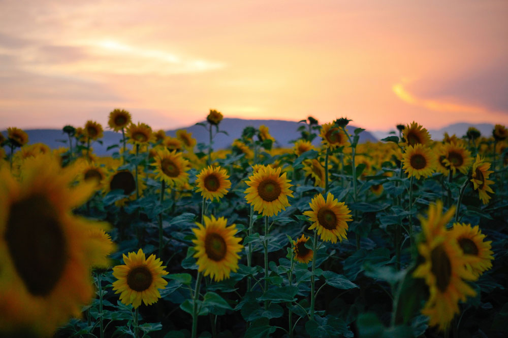 Sunflowers | Katie Currid