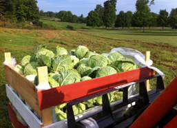 Cabbage on the move!