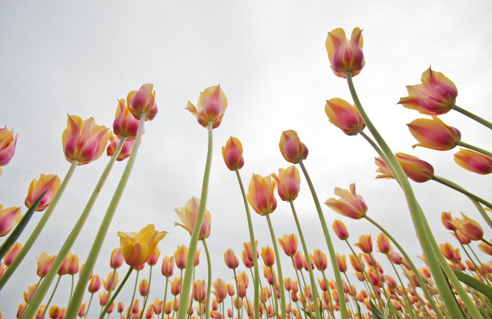 Tulip Fest.jpg