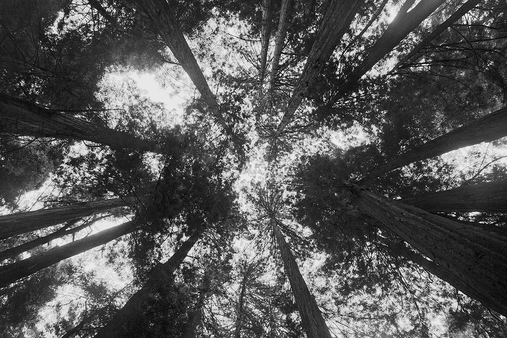muir woods black and white.jpg