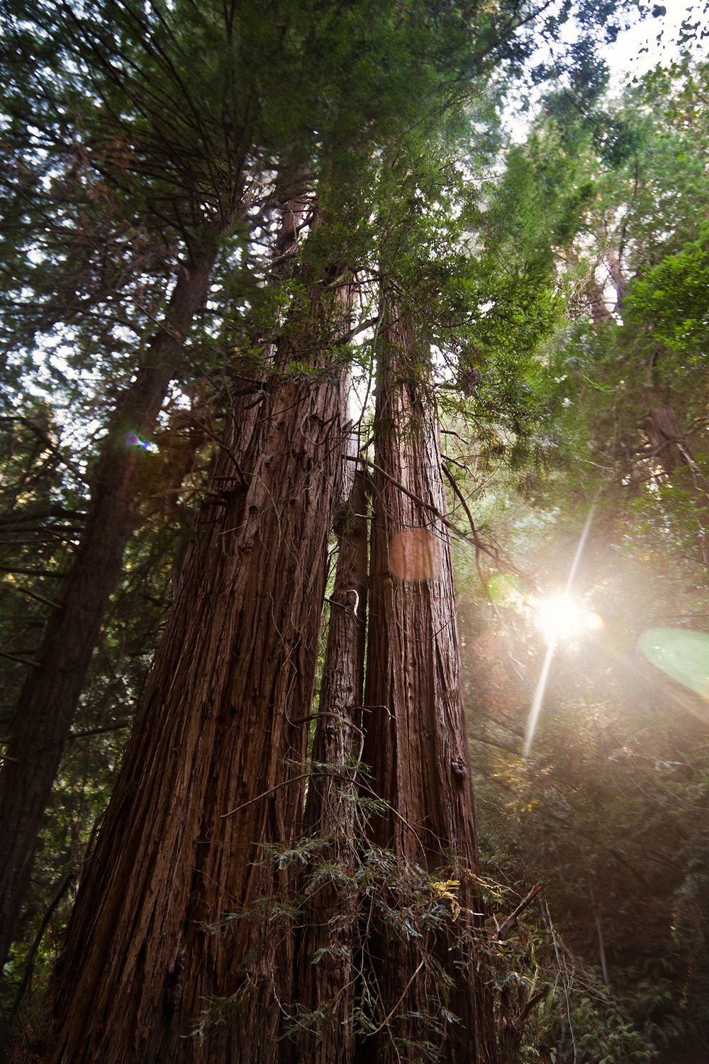 muir woods redwood tree and sunlight.jpg