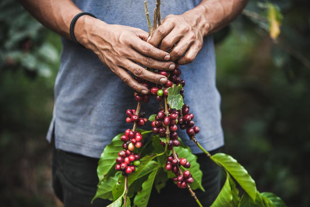 Coffee picker, Nicaragua