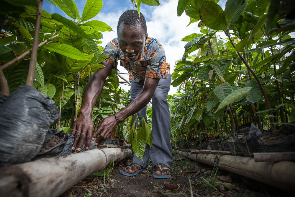 Tending plants in a Cocoa nursery, Ivory Coast