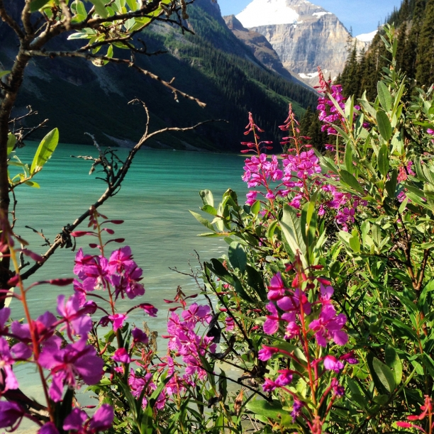 fireweed at Lake Louise | c Heather Hancock 2014