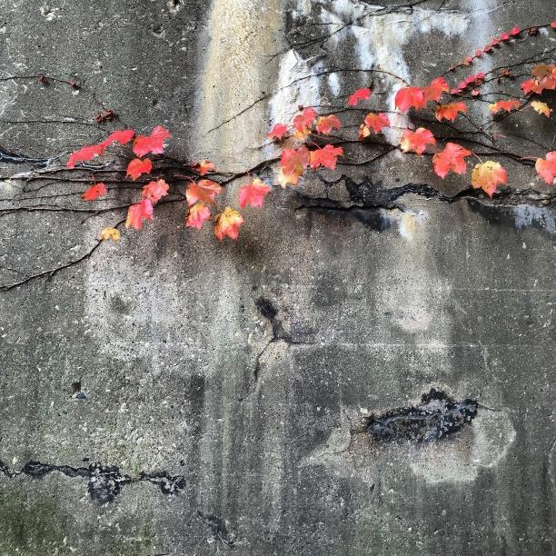 vine on concrete | Heather Hancock c 2014