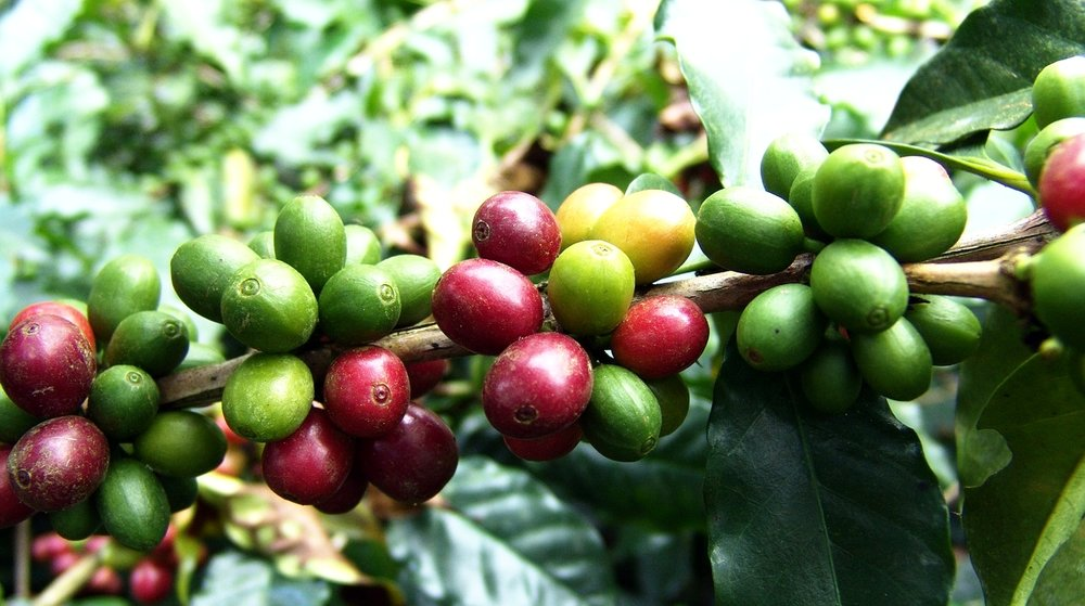 High Altitude Coffee Fruit
