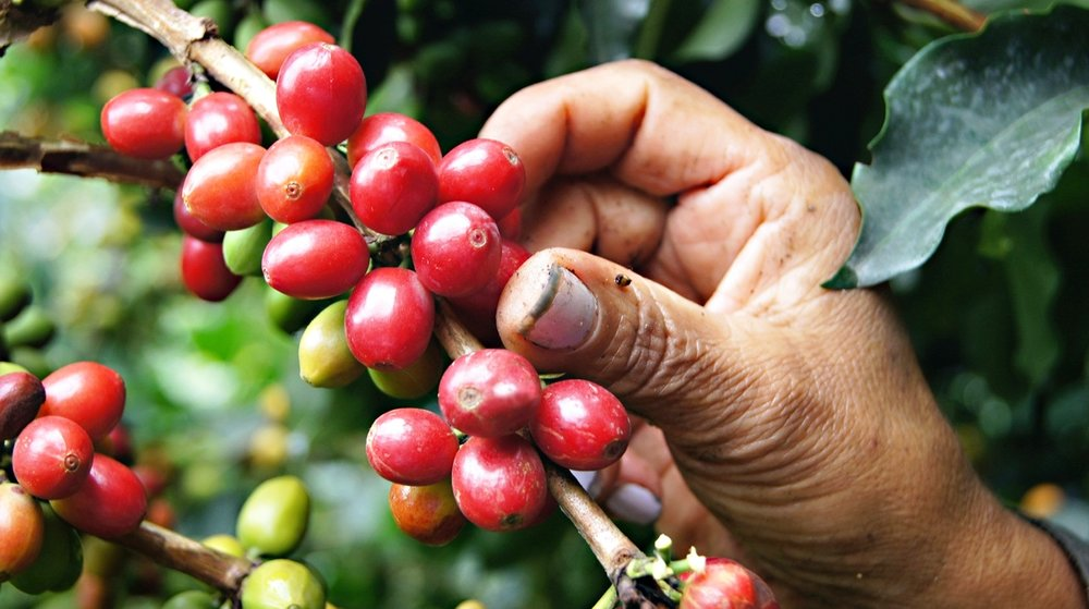 High Altitude Coffee Picking