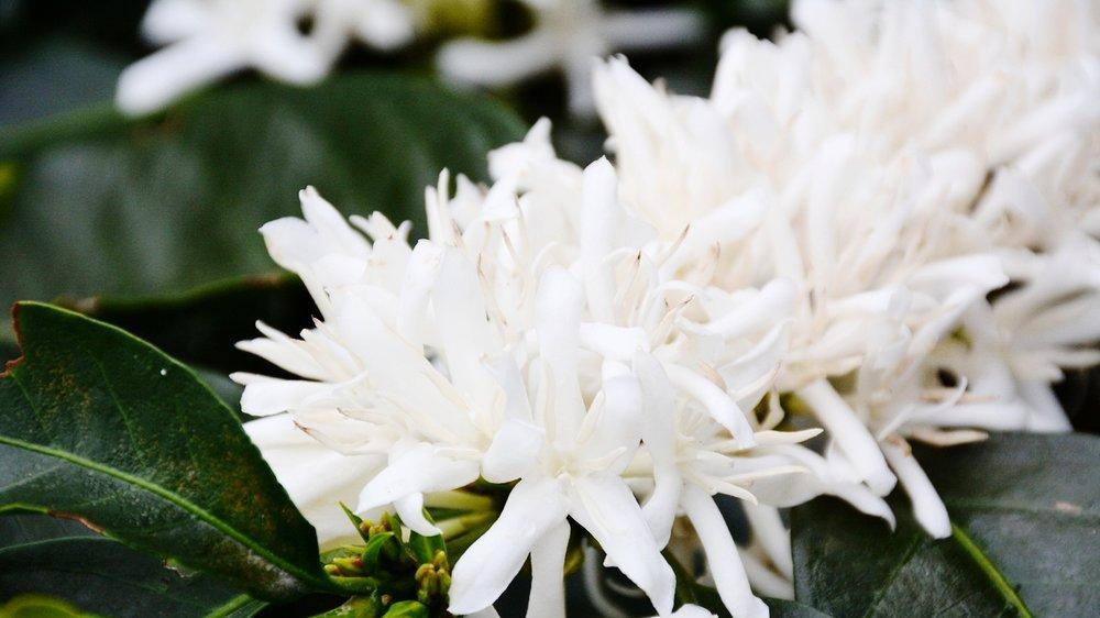 High Altitude Coffee Flower
