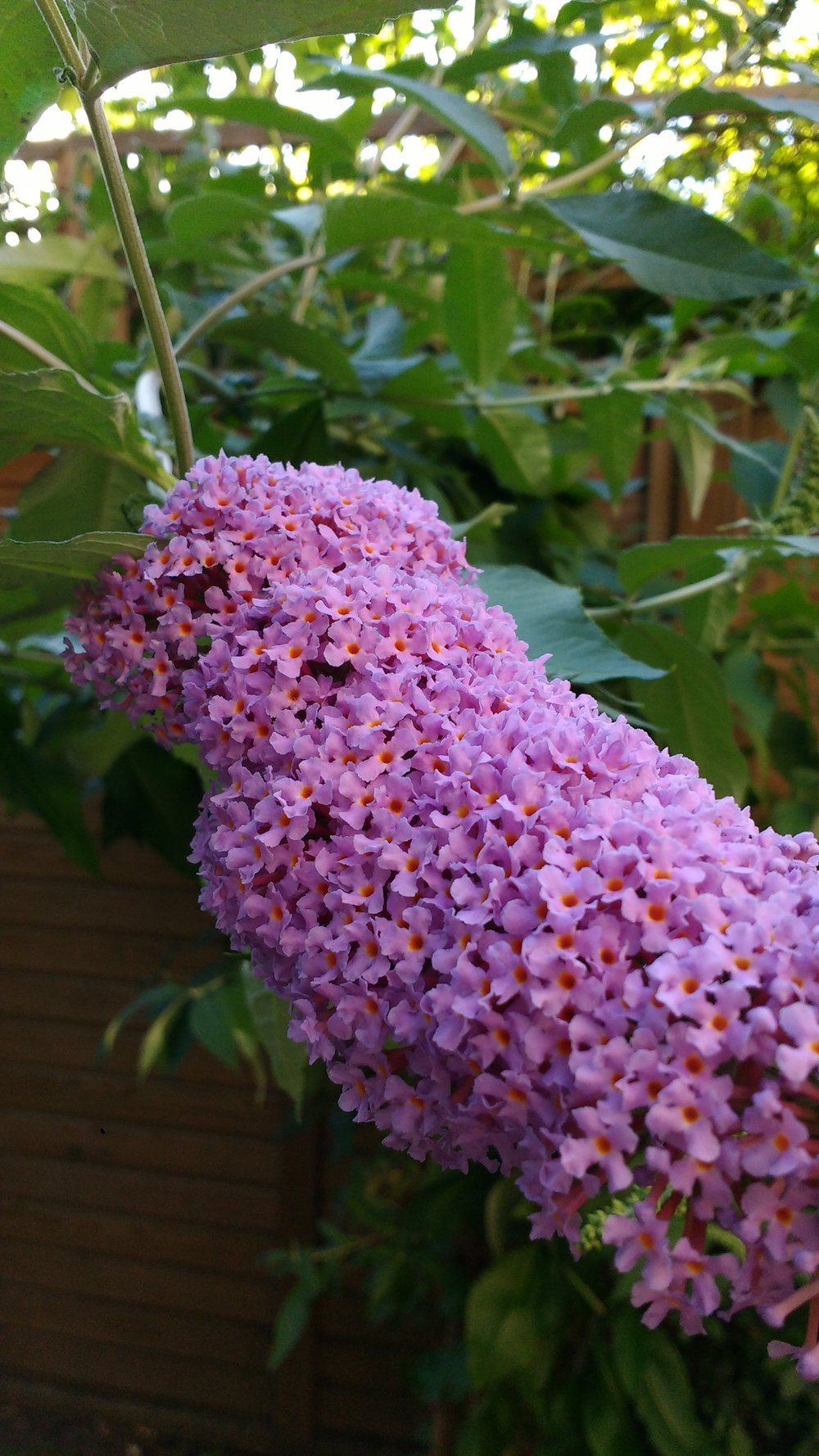 Buddleia - Summer 2016