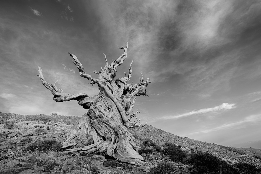 Methuselah Tree. Creative Commons