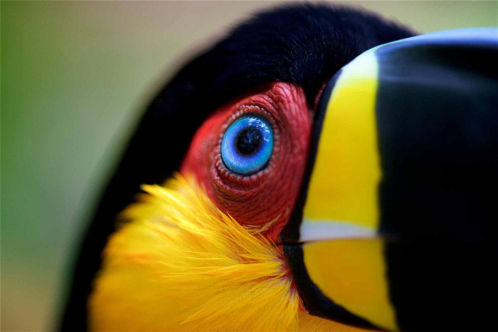 channel-billed ariel toucan, brazil