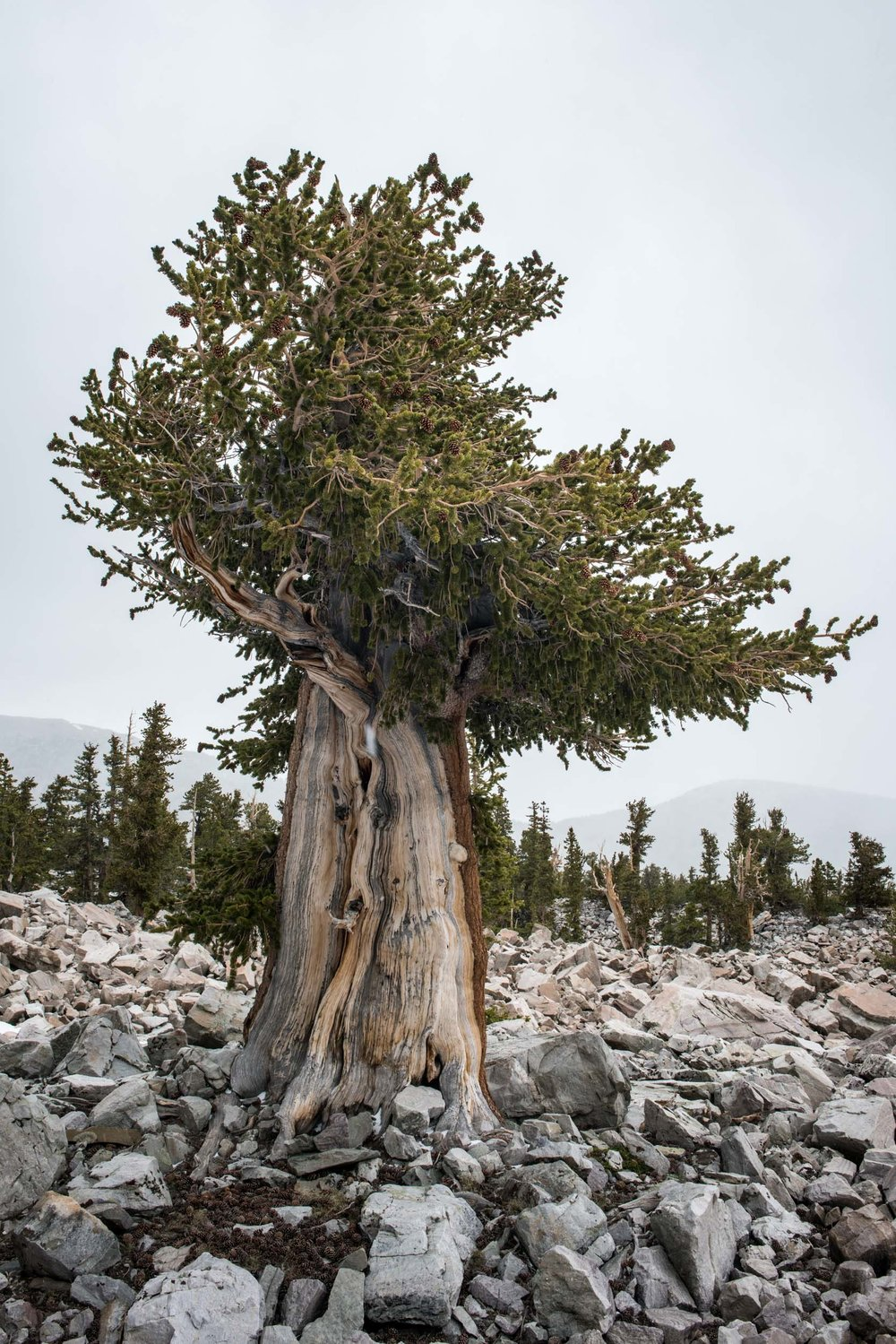 A 2,000 year old Bristlecone pine tree growing at 11,000' in the glacier moraine near Wheeler Peak. Great Basin National Park, Nevada.