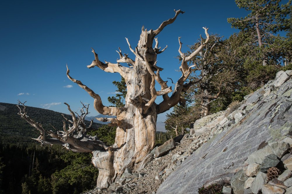 It can take 2,000 years for Bristlecone pine tree to decay. Great Basin National Park, Nevada.