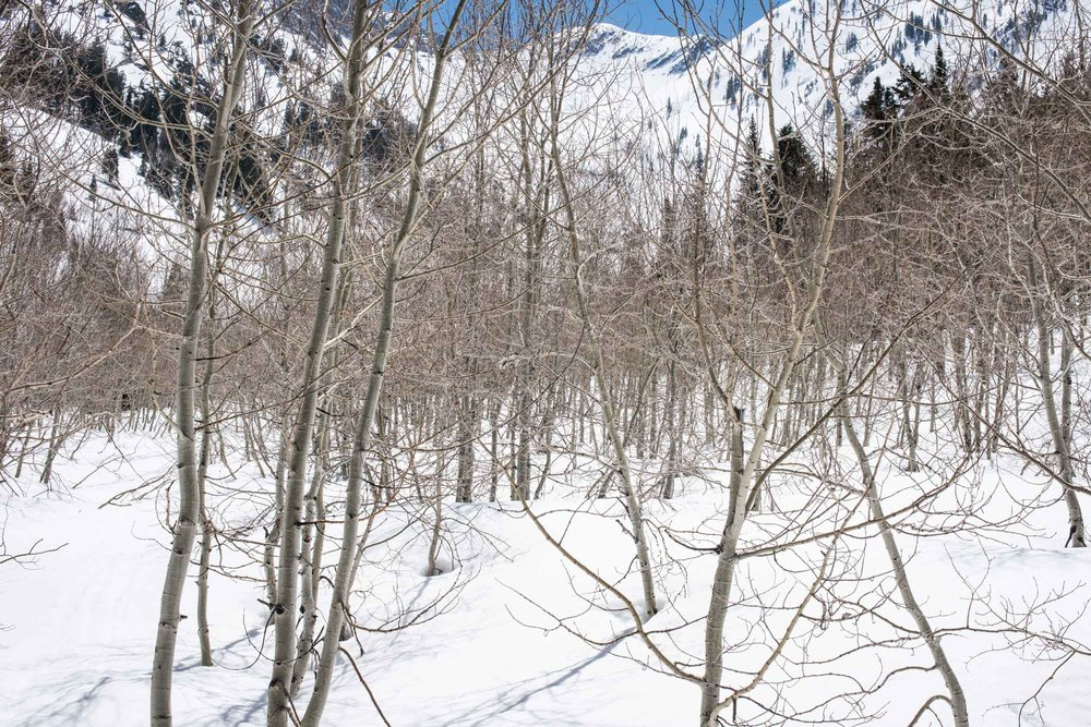 A young aspen grove in the snow pack at near 8,000' in Mineral Fork cirque, Little Cottonwood Canyon, Wasatch Range, Lone Peak Wilderness, Utah.