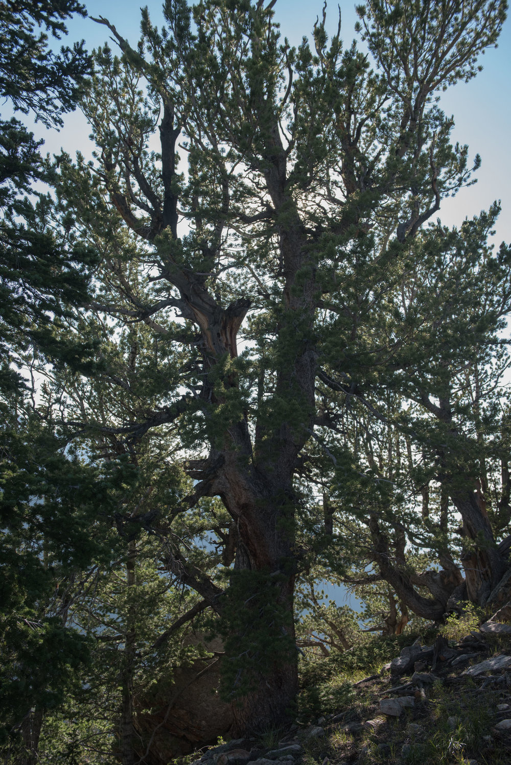 Bristlecone pine tree in the Wasatch Range. Utah.