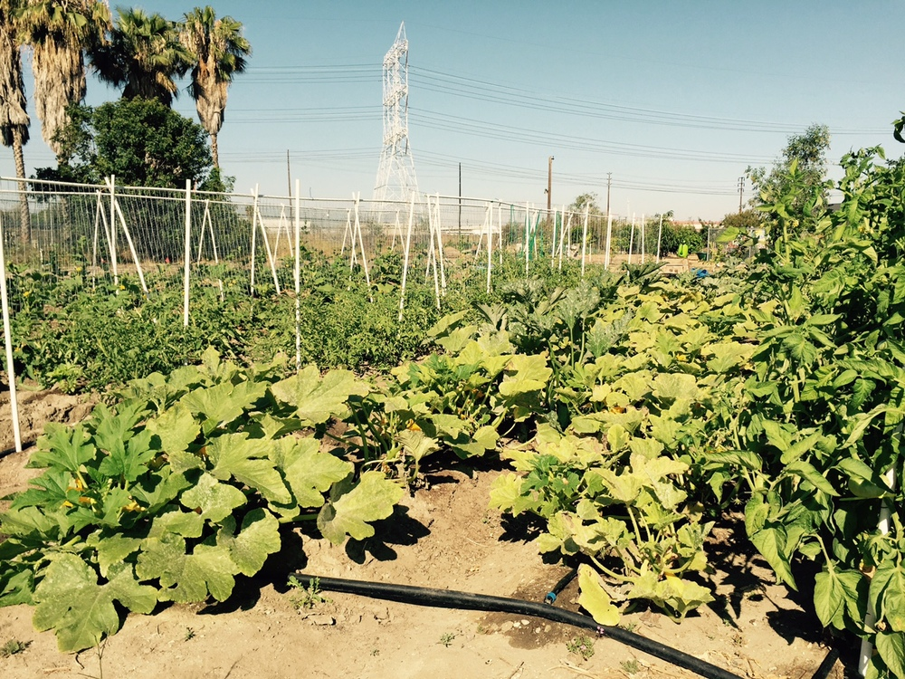 GrowGood's in-ground growing area inJune 2015. Jayne Torres and Corinne McAndrewsspent a year rehabilitatingthe soil in orderto support in-ground planting.