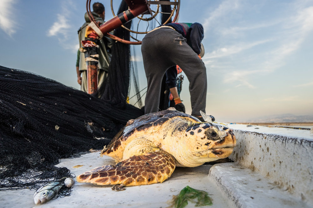 The crew pulled up two endangered Loggerhead sea turtles.  Pieces of plastic covers the head of the turtle.  Persistent population declines due to pollution, fish trawling (if they are unable to surface for 20 minutes due to being tangle in fish nets they drown) and development in their nesting areas.  These factors have meant the Loggerhead turtle is on the threatened species list since 1978.  The turtles were returned to the water and swam away after being caught.