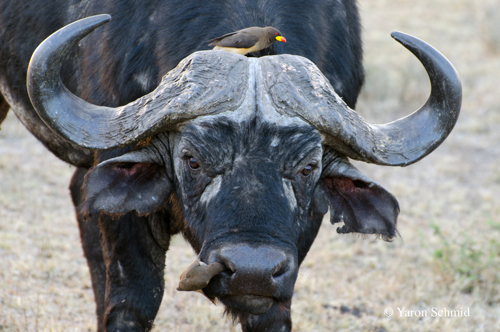 The Buffalo and the Pecker