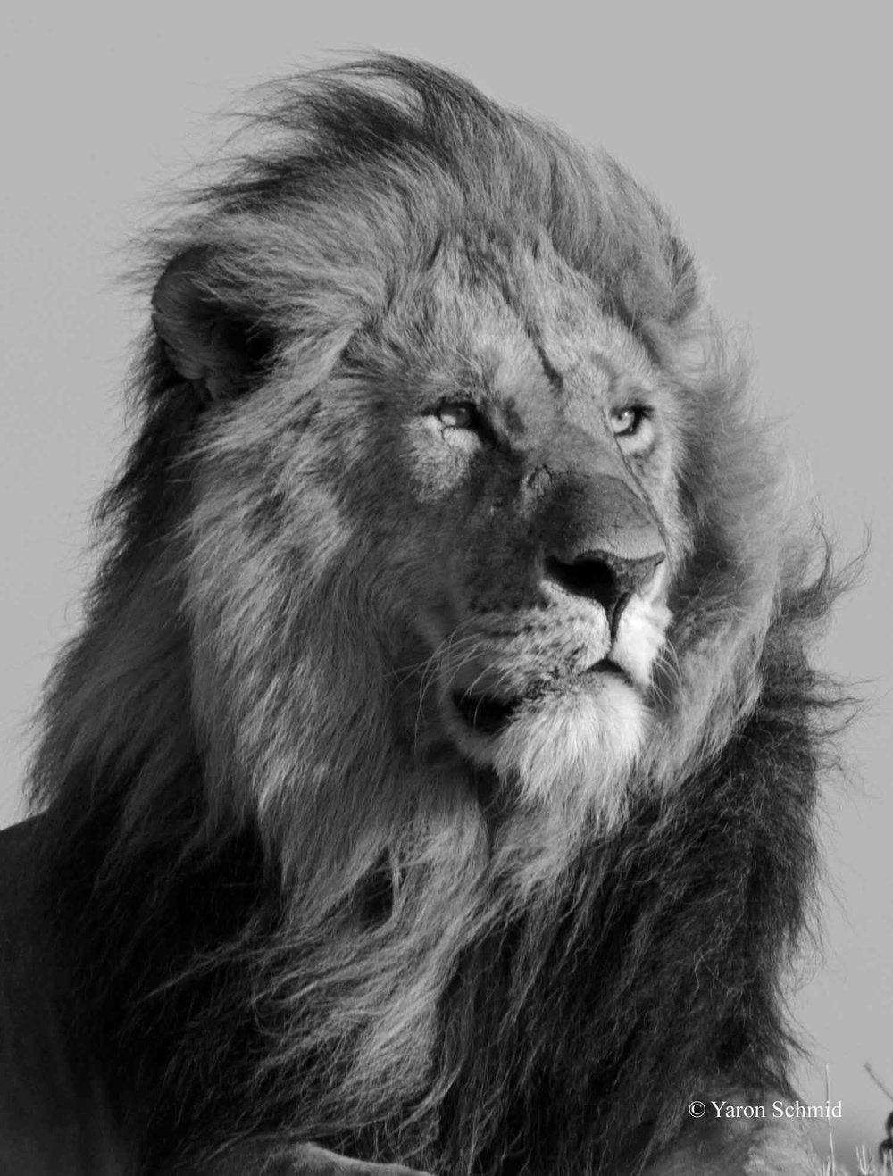 The Lion King in B&W