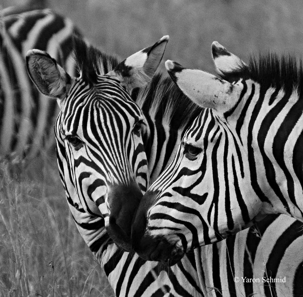Striped Kiss
