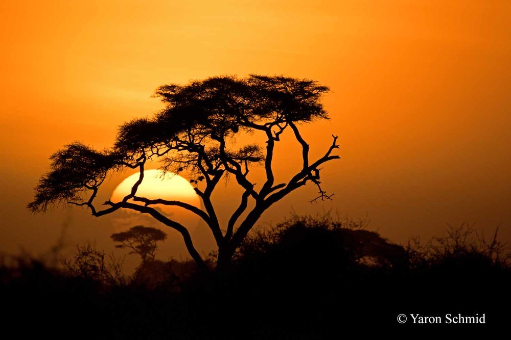 Sunset through Acacia
