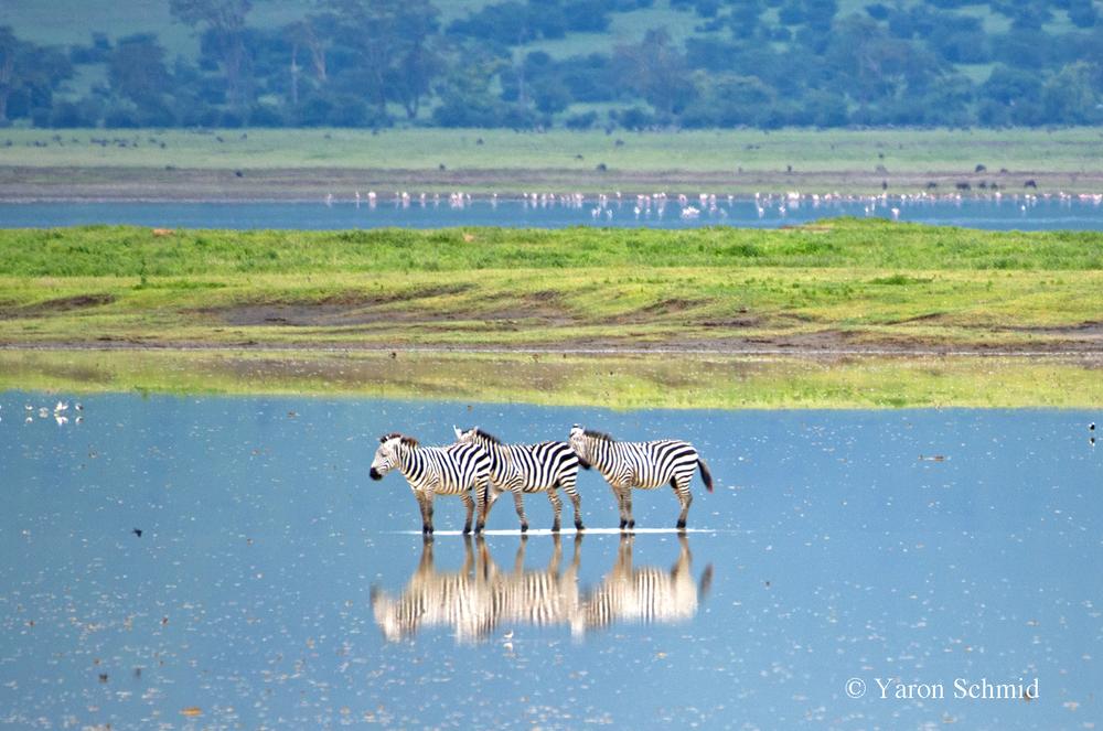 Monet's Zebras