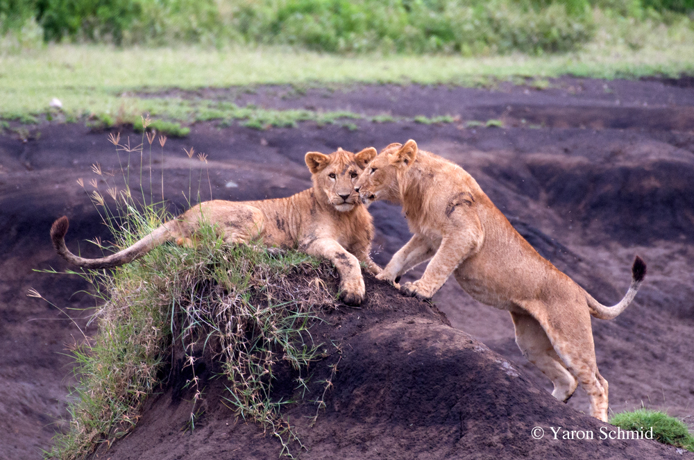 Lion Cubs in their Playground