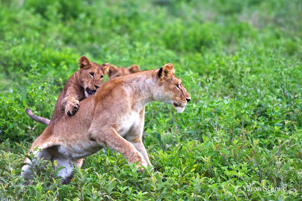 Lioness at Play with her Cubs