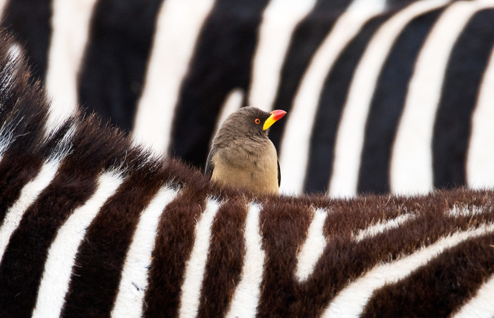 The Zebra and the Oxpecker