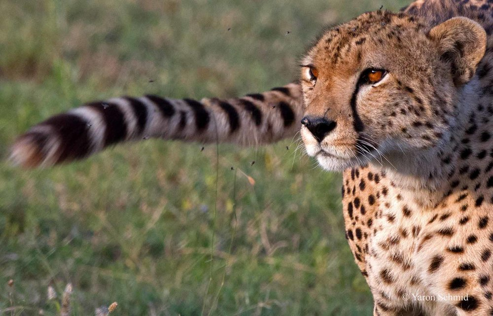 Tale of a Cheetah