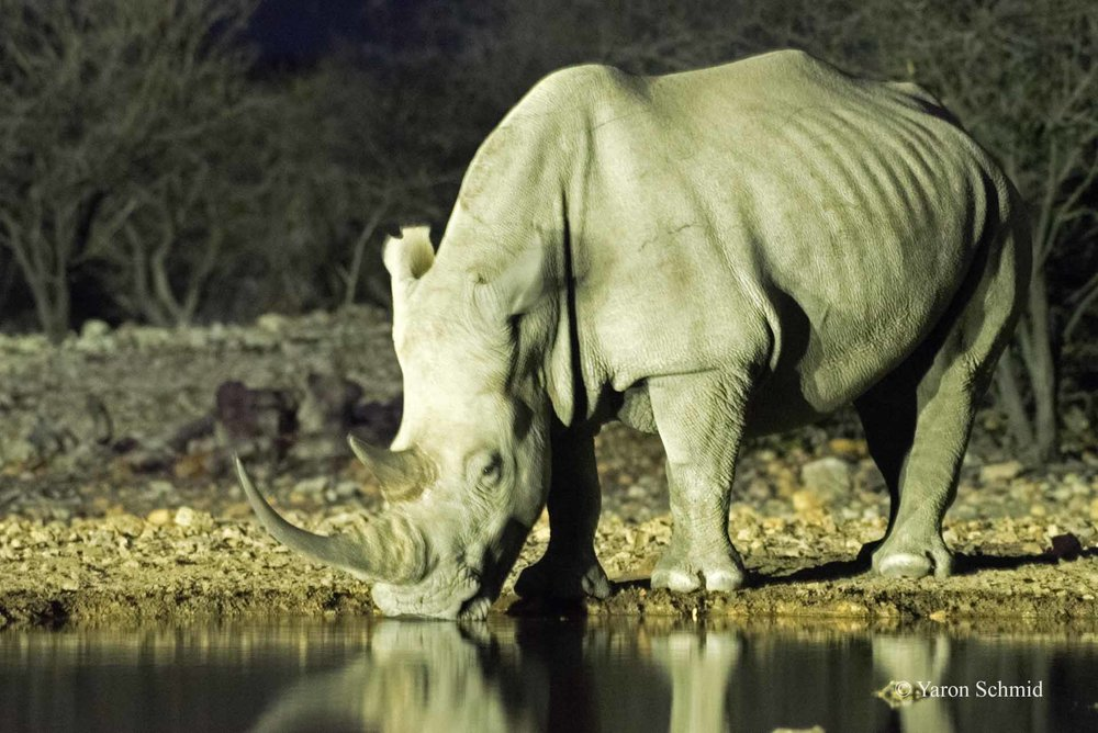 Rhino in the Night