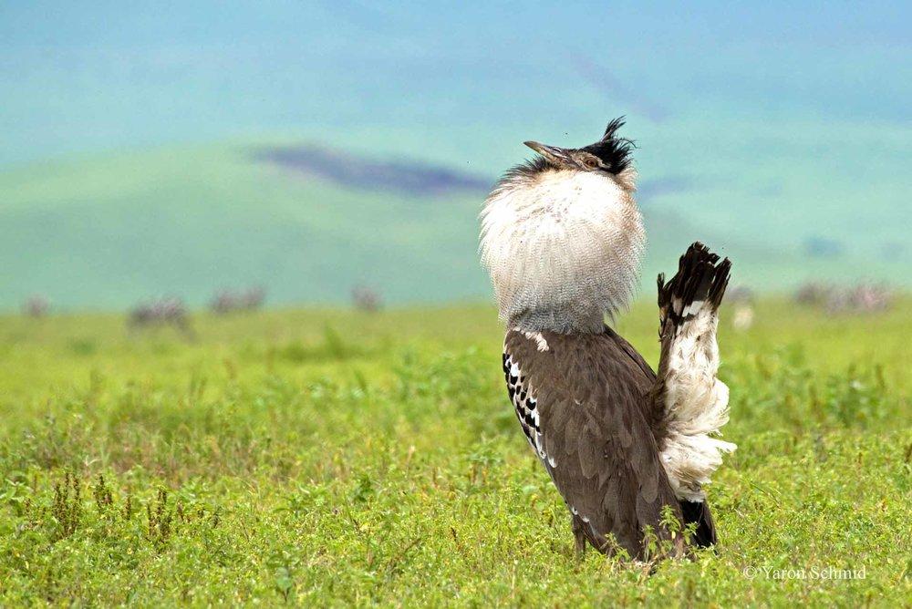 African Strut