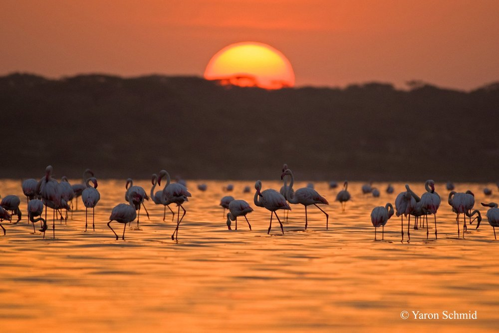 Flamingo Sunrise