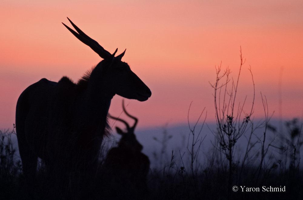 Eland Sunrise