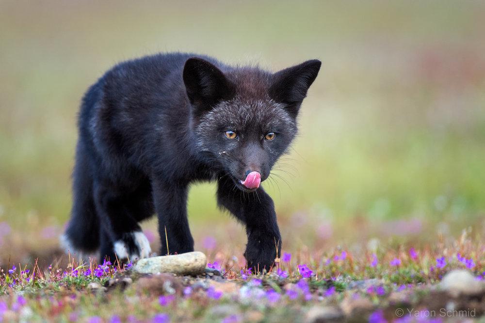 Hungry Fox Kit