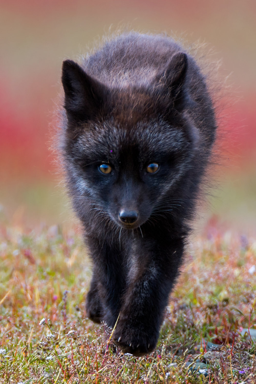 Fox Kit Heading My Way