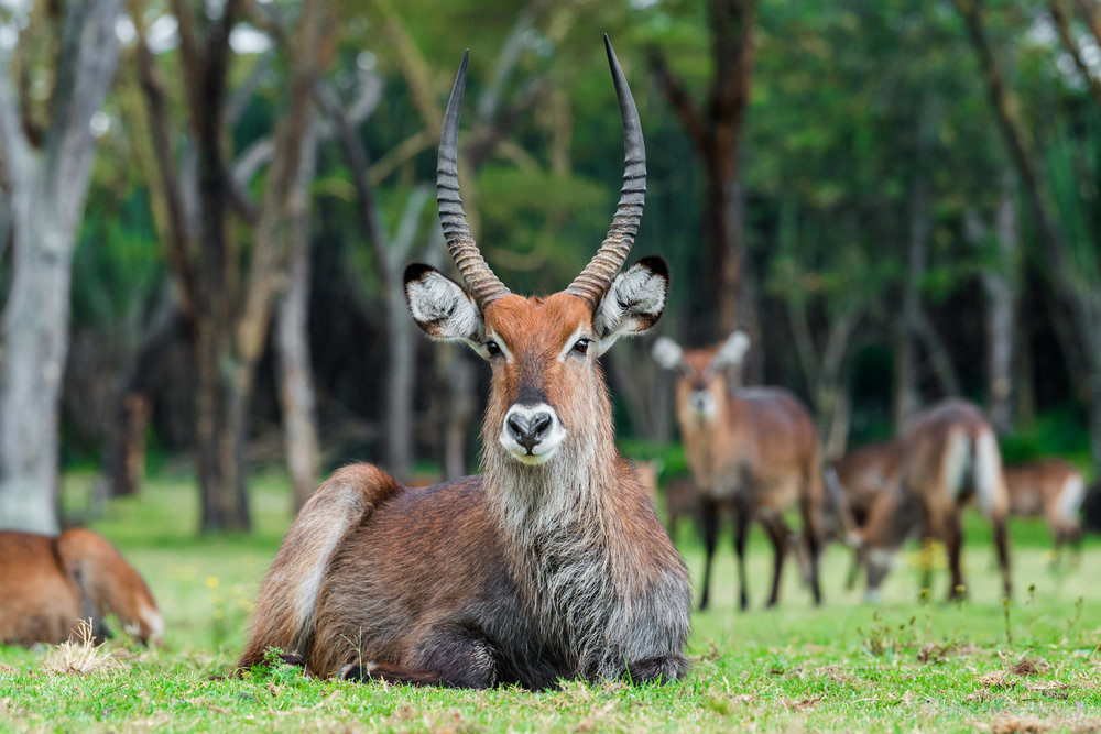 Staring Contest With a Waterbuck