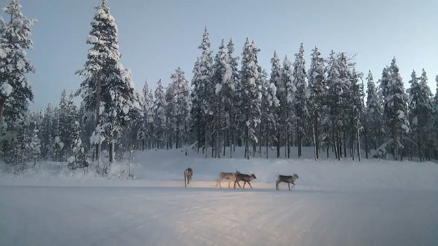 afternoon traffic in Lapland #reindeercrossing #totalgridlock #Torassieppi #trafficinlapland #reindeer