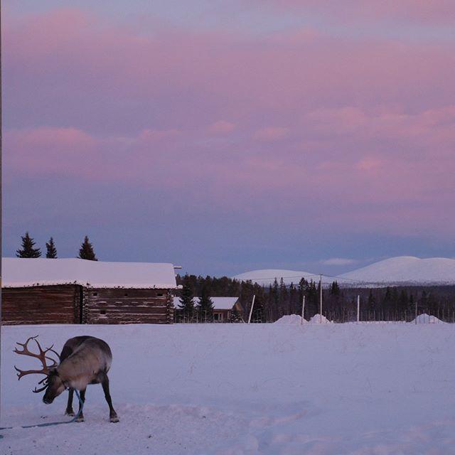 psyching himself up on the day before the night before #reindeer #torassieppireindeerfarm #pastelskies #polarnight #visitlapland #finnishlapland #finland #nofilter