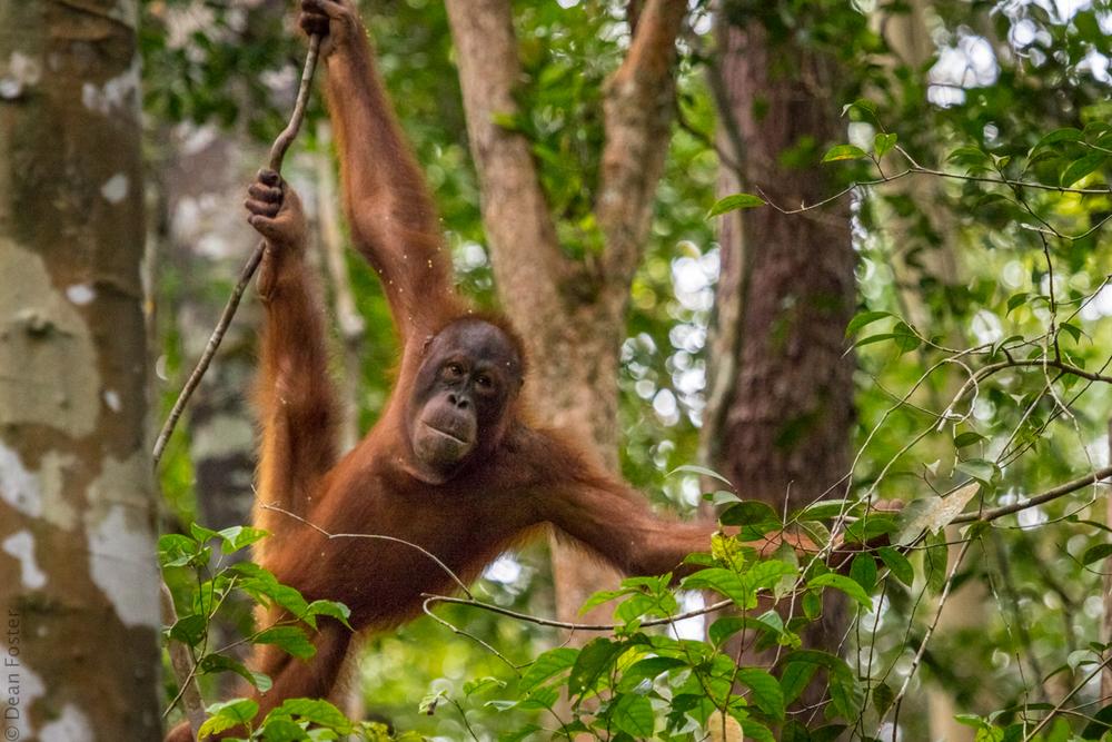 Orangutan-5604.jpg