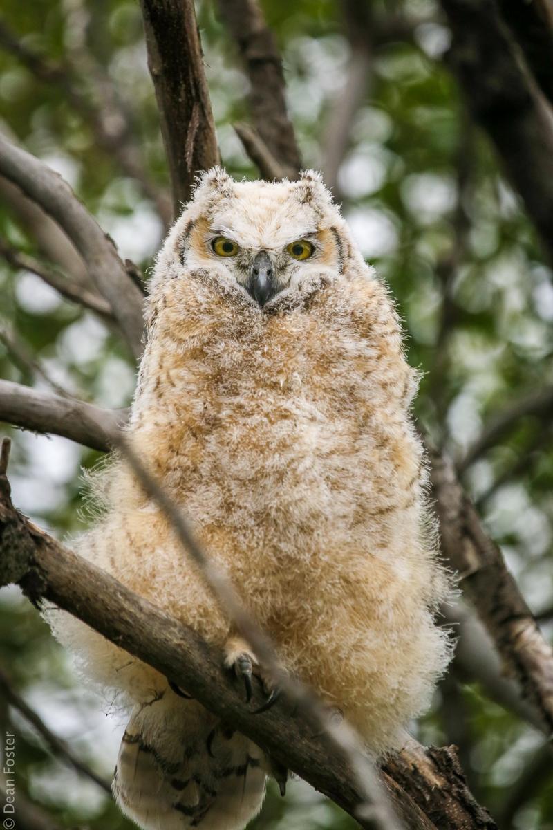 Great-Horned-Owlet-0098.jpg