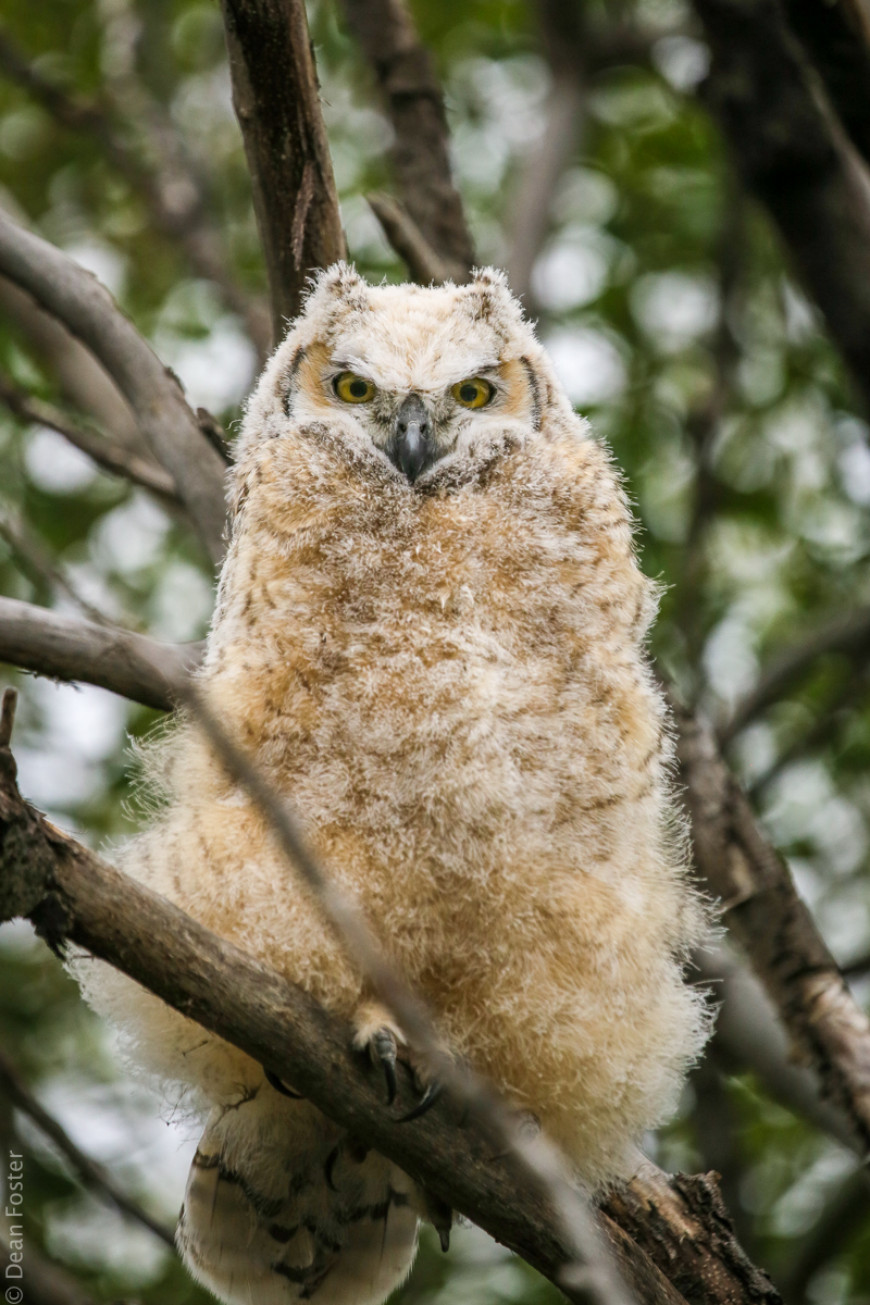 Great Horned Owlet, near Olds, Alberta