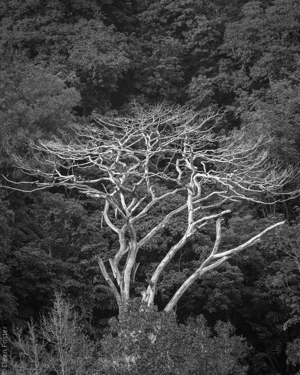 A dead tree stands out in the thick jungle on one of the hills overlooking Penang