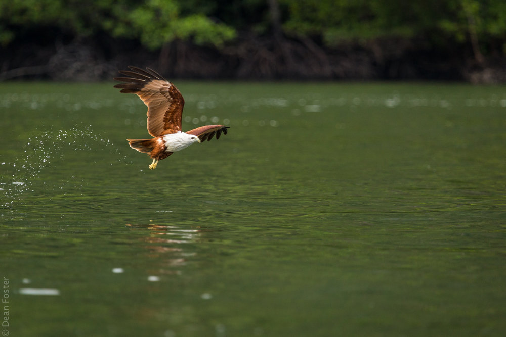 A Brahminy Kite swoops down to pick dinner off the water surface