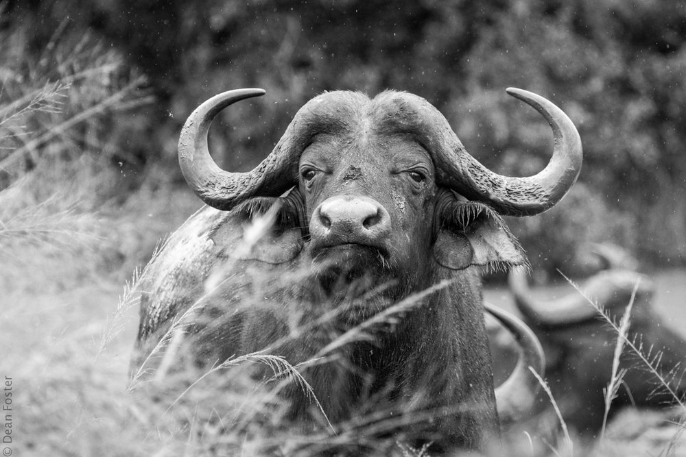 #6 - One of the Big Five, a Cape buffalo stands in the rain at Hluhluwe–Imfolozi Park