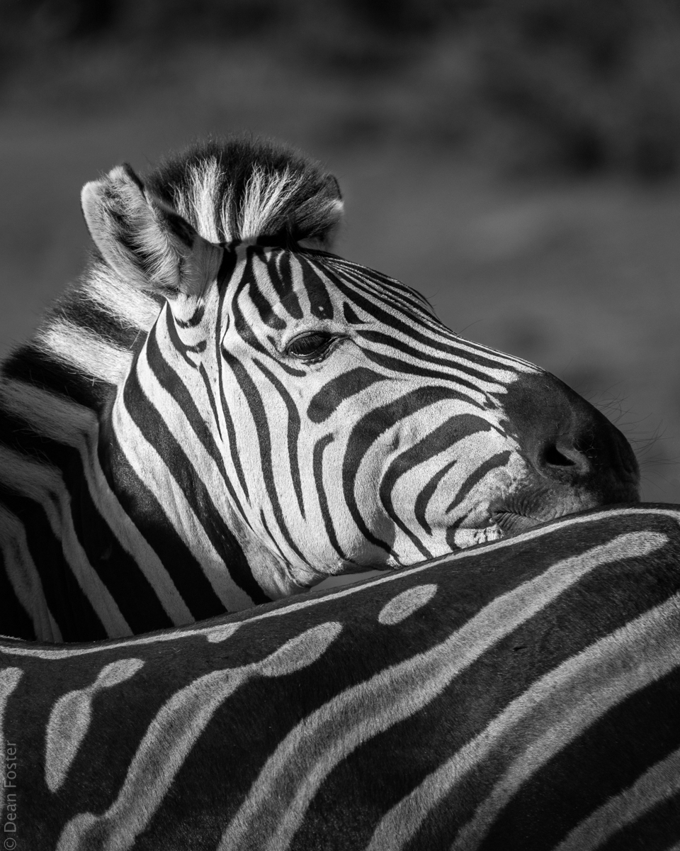 #7 - Burchell's Zebra, Addo Elephant Park, South Africa